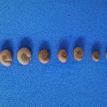 sementes de diferentes tamanhos da gabiroba